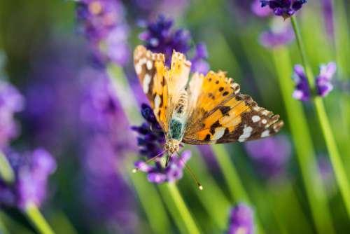Beautiful Butterfly in Lavender Field Free Photo