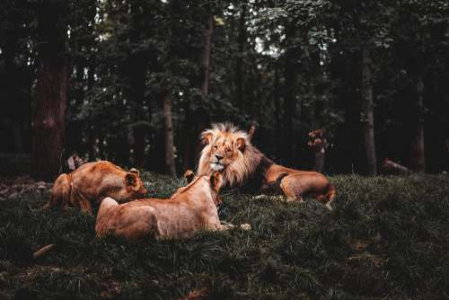 Lion with Two Lionesses Free Photo