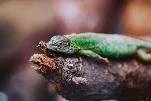 Green Lizard Free Photo