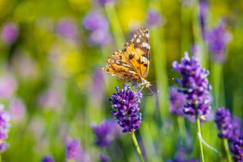 Butterfly Drinking Nectar from a Lavender Flower Free Photo