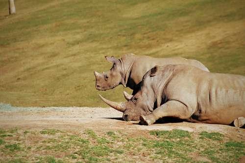Rhino Zoo Animal Rhinoceros Mammal Safari