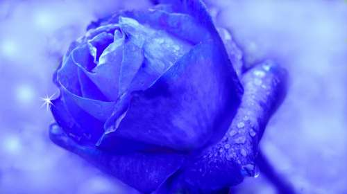 Rose Blue Flower Blossom Bloom