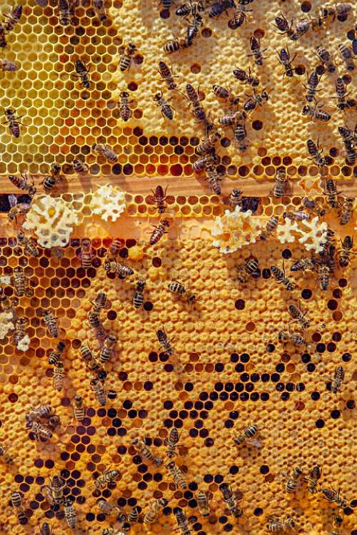 Bees Nature Animals Honeycomb Honey Bee Insect