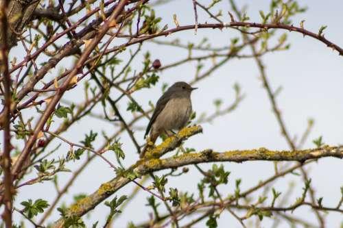 Bird Birds Songbird Singer Birds Redstart