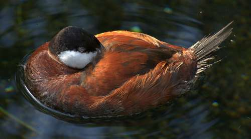 Duck Plumage Sleeping Water Bird Swim Feather