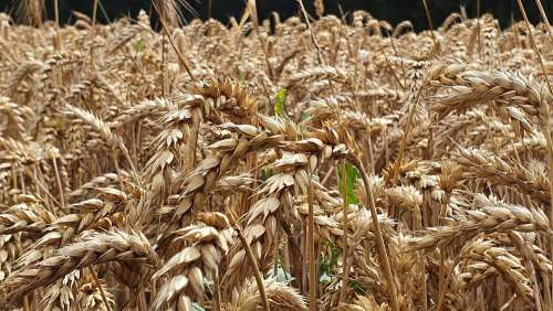 Cereals Field Macro Cornfield