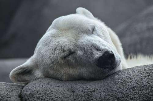 Polar Bear Arctic Predator Young Animal Zoo Bear