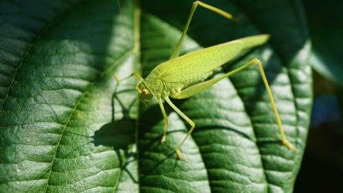 Grasshopper Viridissima Insect Close Up Green