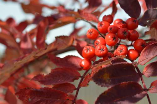 Berries Leaves Red Berry Nature Autumn Fall