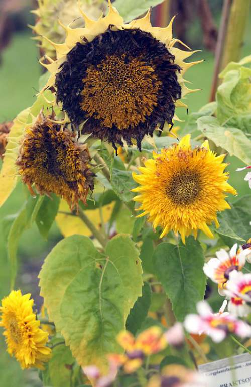 Sunflower Flower Nature Garden Blossom Yellow
