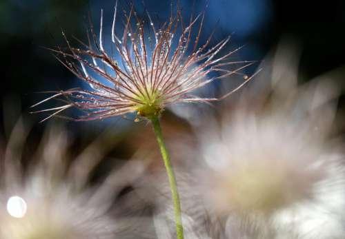 Plant Flower Pasqueflower Pasque Flower
