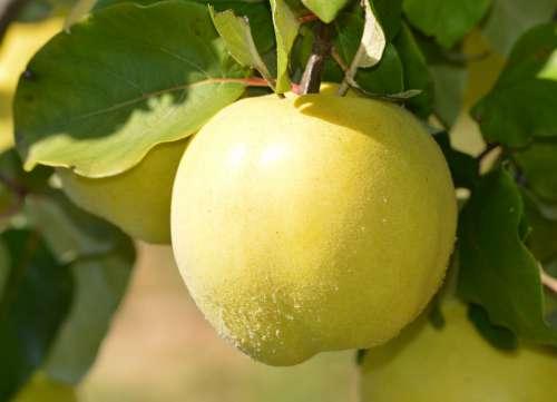 Nature Green Fruit Croatia Dalmatia Natural