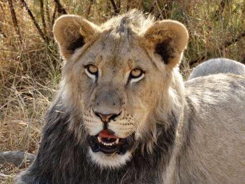 Lion'S Whelp Lion Big Cat Cat Wild Animal World