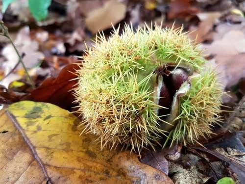 Chestnut Nature Autumn Autumn Mood Autumn Fruit