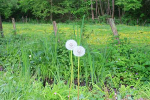 Dandelion Countryside Woodland