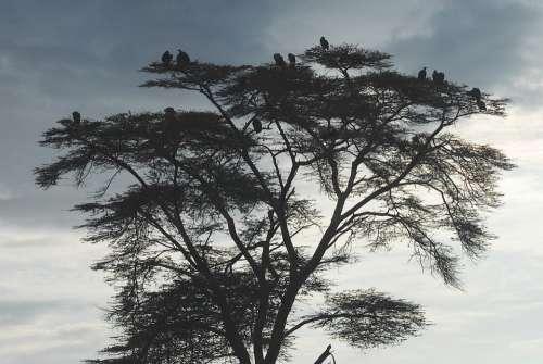 Vultures Earth Hour Scavengers Kenya Africa