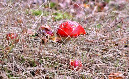 Mushrooms Fly Agaric Autumn Forest Gif Red
