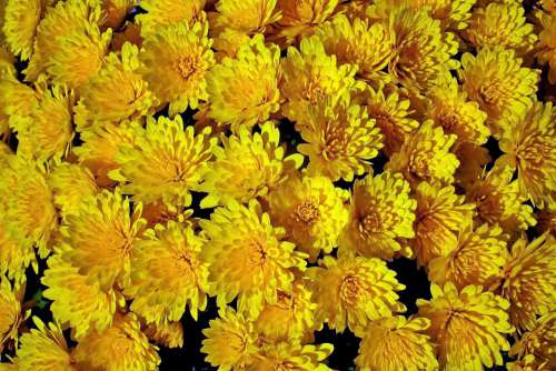 Chrysanthemum Flowers Yellow Autumn Nature