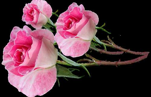 Flowers Pink Roses Bud Stems Fragrant Cut Out