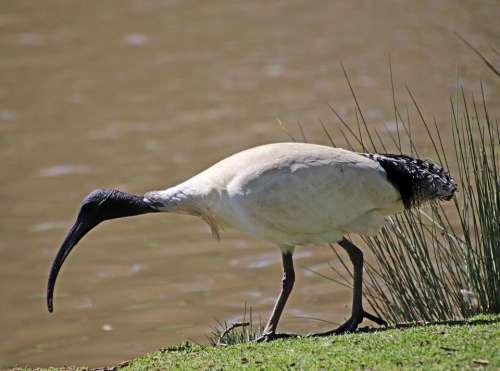 Bird Ibis Wildlife Lake Reeds Park Nature