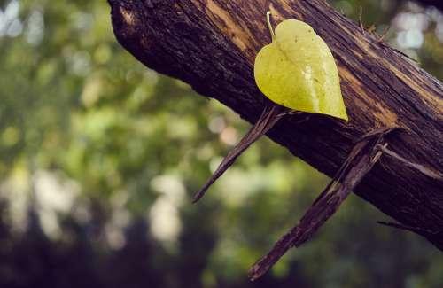 Sweetheart Heart Leaf Autumn Heart Shape Tree