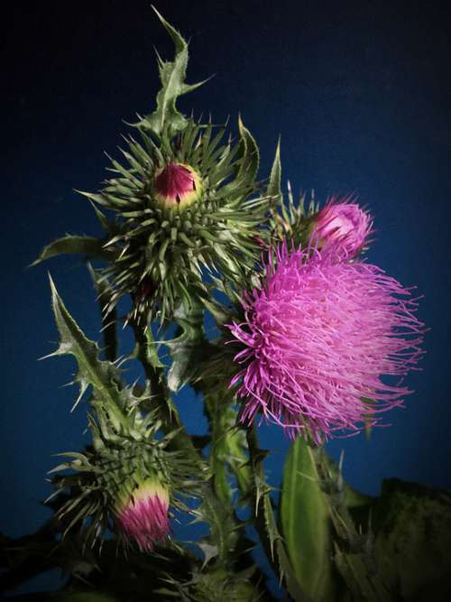 Thistle Thorns Pink Flower Thorny Flower Plant