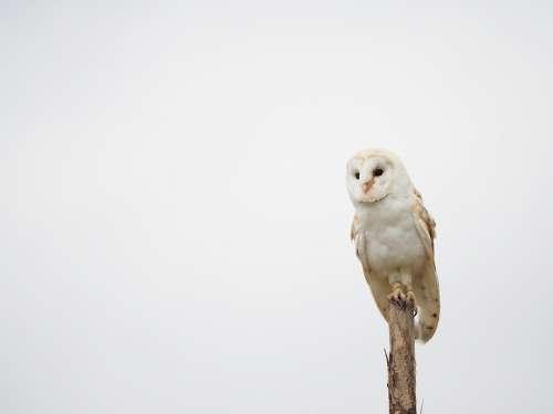 Bird Animal Owl Barn Owl Wings Beak Feather