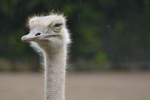 Ostrich Animal Zoo Rain Bird Head Flightless Bird