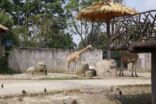 Giraffe Animal Mammal Zoo Wild Herbivore Spotted