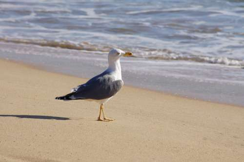 Seagull Bird Birds Sea