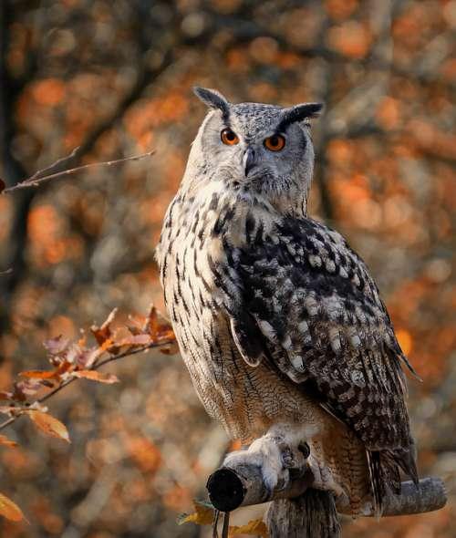 Owl Bird Feather Cute Plumage Birds Animal