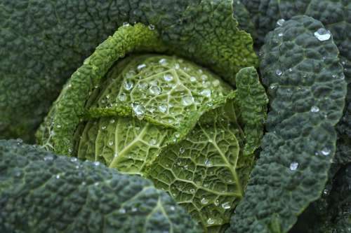 Cabbage Kale Vegetables Healthy Harvest Raindrop