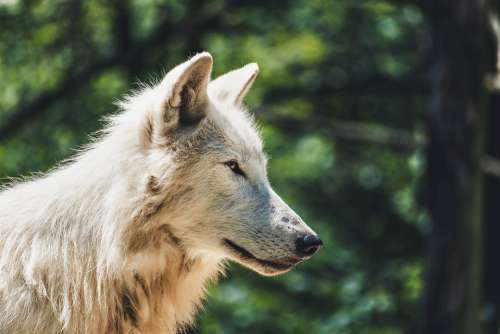 Wolf Animal Zoo Animals Nature Forest Landscape
