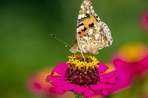 Summer Outdoors Butterfly Wings Painted Lady