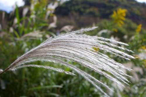 Pampas Grass Japan Susuki Grass Silver Grass Nature