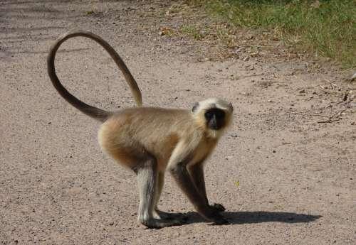 Monkey Langur Animal Gray Langur Hanuman Langur