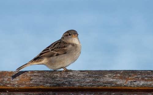 Sparrow Bird Sperling Animal Animal World Feather