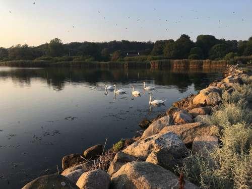 Twilight Swans Lake Sunset Nature