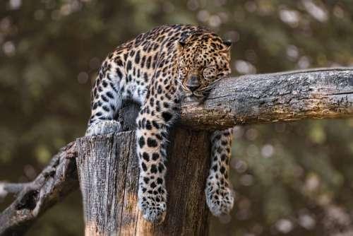 Zoo Jaguar Animal Sleeping Sleep Feline Wild