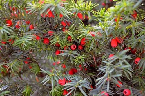 Eibe Herbst Farbspiel Strauch Früchte Natur