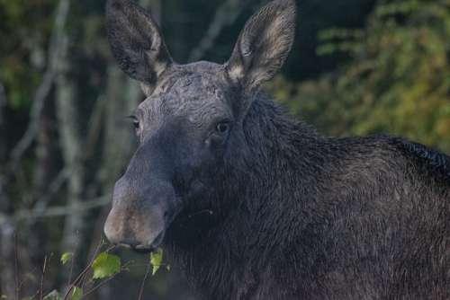 Moose Nature Animal Wildlife Elk Landscape