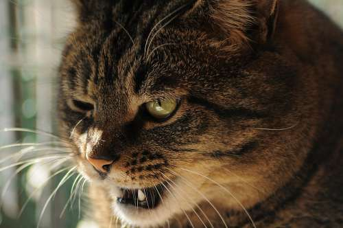Cat View Teeth Bully Bad Striped To Squint Eye