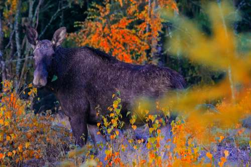 Moose Animal Elk Deer Wildlife Hunting Wild