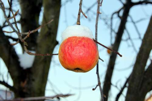 Apple Winter Snow Frost Cold