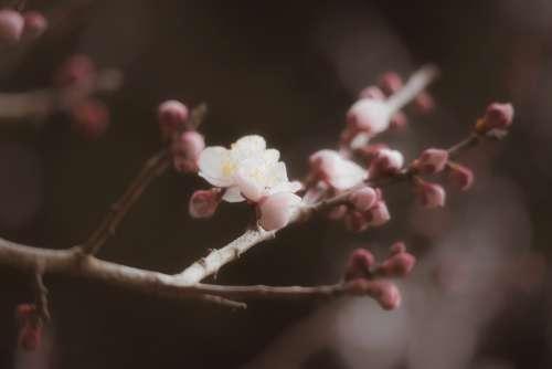 Plum Winter Spring Flowers Bud Seasonal Natural