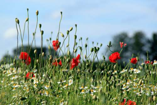 Poppy Summer Flower Landscape Meadow