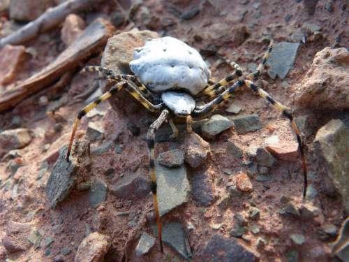 Spider Spider Tiger Detail Arachnid Argiope Lobata