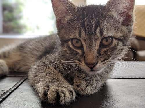 Kitten Cat Pet Cute Feline Eyes Kitty Adorable