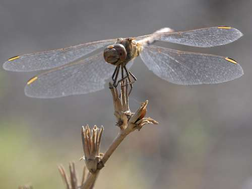 Dragonfly Insecta Wings Nature