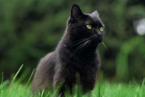 Cat Black Cat Pet Animal Feline Kitten Eyes